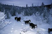 Yukon Territory Photos - Huskie Pups Out For A Run In The Snow by Paul Nicklen