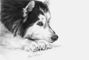 White Dog Drawings Framed Prints - Husky Contemplation Framed Print by Sheona Hamilton-Grant