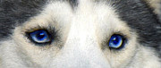 Dogs Digital Art Metal Prints - Husky Eyes Metal Print by Jane Schnetlage