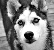 Monochromatic Photos - Husky pup by Sumit Mehndiratta