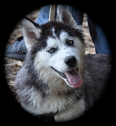 Husky Puppy Framed Prints - Husky puppy Framed Print by Stephen  Tunis