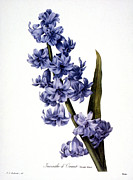 Redoute Photo Posters - Hyacinth Poster by Granger