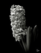 Flower Photos Posters - Hyacinth in Black and White Poster by Endre Balogh