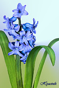Hyacinth Photos - Hyacinth by Kristin Elmquist