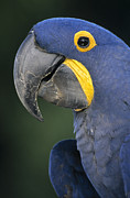 Hyacinth Macaw Prints - Hyacinth Macaw Anodorhynchus Print by SA Team