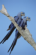 Hyacinth Macaw Framed Prints - Hyacinth Macaw Anodorhynchus Framed Print by Tui De Roy