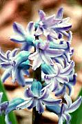Hyacinth Photo Manipulation  Print by David Lane