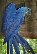 Hyacinth Macaw Posters - Hyacinth Sheen Poster by DigiArt Diaries by Vicky Browning