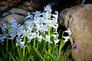 White Grape Photos - Hyacinths in the Garden by Teresa Mucha