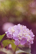 Purple Hydrangeas Prints - Hydrangea Print by Amy Tyler
