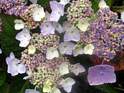 Dew Covered Posters - Hydrangea Poster by Angie Vogel