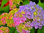 Yearly Prints - Hydrangea Blossoms   Print by Chris Berry