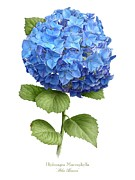 Wildflower Art - Hydrangea Blue Heaven by Artellus Artworks
