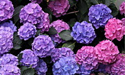 Hydrangea Photos - Hydrangea Bush by Angie Vogel