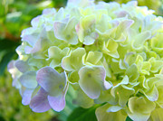 Blue Flowers Posters - Hydrangea Floral Fine Art Prints Paste Yellow Green Poster by Baslee Troutman Fine Art Photography