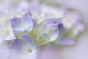 Purple Hydrangeas Prints - Hydrangea Flower Soft Macro Print by Jennie Marie Schell
