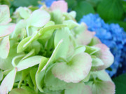 Blue Flowers Photos - HYDRANGEA FLOWERS Art Prints Floral Gardens Gliclee Baslee Troutman by Baslee Troutman Fine Art Prints Collections