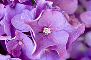 Color Purple Metal Prints - Hydrangea Metal Print by Frank Tschakert