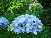 Blue Flowers Posters - Hydrangea Garden Fine Art Print Floral Blue Green Poster by Baslee Troutman Photography Fine Art Prints