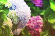 Jennifer Kelly - Hydrangea In Full Bloom