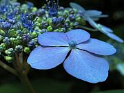 Purple Hydrangea Photos - Hydrangea by Juergen Roth