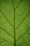 Tree Leaf Photo Prints - Hydrangea Leaf Print by Steve Gadomski