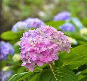 Lori Kesten - Hydrangea on S Battery