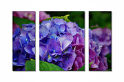 Lnature Framed Prints - Hydrangea Shades of Blue and Pink Framed Print by Elaine Manley