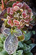 Hydrangea Sp Print by Dr Keith Wheeler