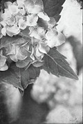 Vase Of Flowers Posters - Hydrangeas in Black and White Poster by Stephanie Frey