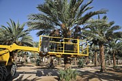 Dates Prints - Hydraulic Platform For Picking Dates Print by Photostock-israel
