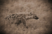 On-the-look-out Acrylic Prints - Hyena on the Move by Darcy Michaelchuk