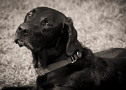 Labrador Retriever Photos - I Am Being Good by Roger Wedegis