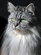 Cats Photo Metal Prints - I am Not Amused Metal Print by Graham Taylor