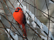 Red Cardinals In Snow Prints - I Am So Ready For Spring Print by Lois Bryan