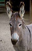 Donkey Photo Metal Prints - I Assked You a Question Metal Print by DigiArt Diaries by Vicky Browning