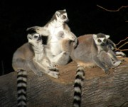 Lemur Photos - I Cannot Believe You Ate The Whole Thing by Christine Belt