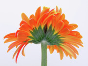 Gerber Daisy Prints - I Cannot Live Without You  Print by Juergen Roth