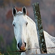 Fence Post Photos - ...I Could Eat A Horse by M  Nerrie