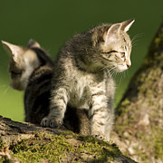 Kittens Photos - I got your back by Jana Goode