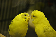 Parakeet Photos - I Have My Eyes On You by Melanie Moraga