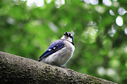 Bluejay Metal Prints - I Hear Something Metal Print by Alyce Taylor