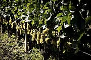 Grapes Photo Originals - I heard it through the Grapevine by Cabral Stock