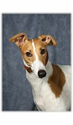 Greyhound Digital Art Prints - I Heard That Greyhound Print by Maxine Bochnia