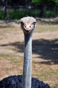 Ostrich Photos - I Know What Youre Thinking by Gene Sherrill