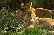 Lion Framed Prints - I love my mother Framed Print by Johan Elzenga