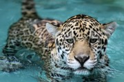 Jaguars Acrylic Prints - I Love the Water Acrylic Print by Sabrina L Ryan