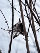 Bluejay Metal Prints - I Missed Again Metal Print by Lori Tambakis