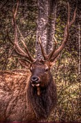 Bull Elk Digital Art Posters - I smell a camera man Poster by The Stone Age