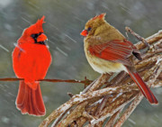 Cardinals Prints - I told you we should winter in Florida but noooo Print by Ron  McGinnis